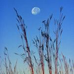 Logo_img--prairie-book081-Big-bluestem-and-moonset,-CHSP--ptd-BILLWITT